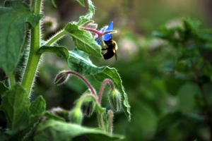 Bumblin 'round the borage