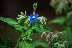 2010 Borage Buds